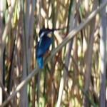 Ryttlande blå fågel
